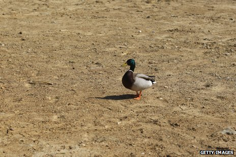 Duck in dry reservoir during drought