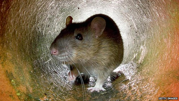 File image of a rat
