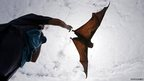 A wildlife carer releases a Grey Headed Flying Fox in Centennial Park in Sydney, Australia