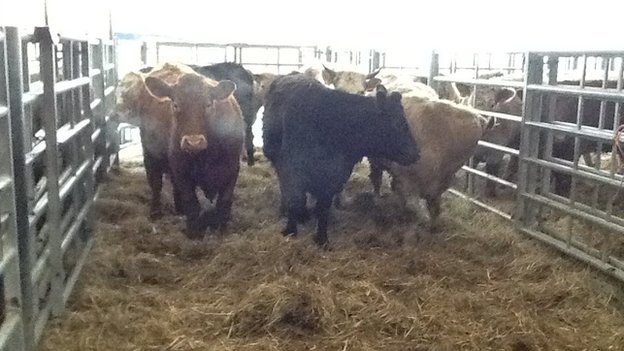 Cows at Sedgemoor market in Somerset