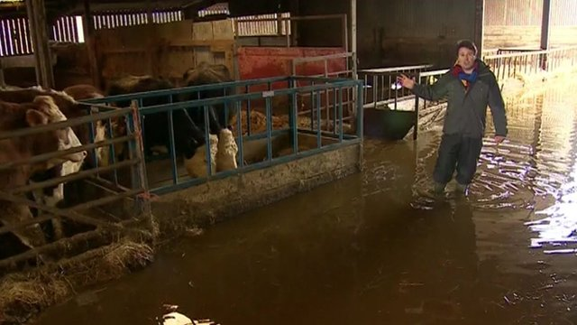 Jon Kay with cattle in flooded shed