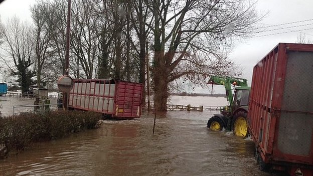 Cattle being rescued by tractor