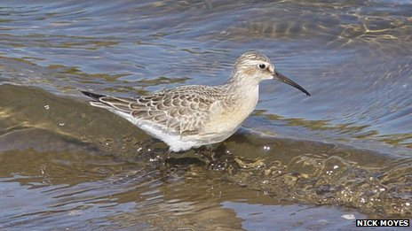 A curlew sandpiper, photographed at The Sanctuary