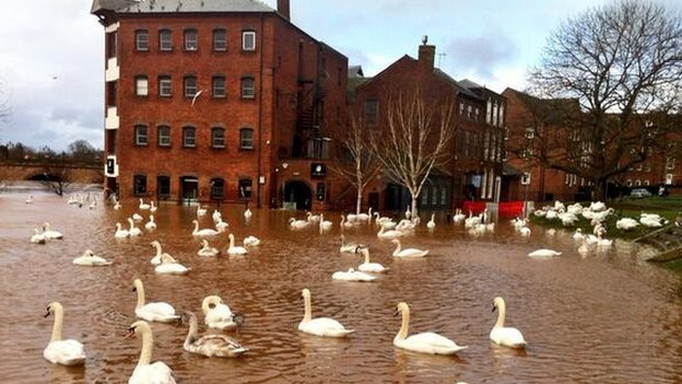 Swans on floodwater in Worcester
