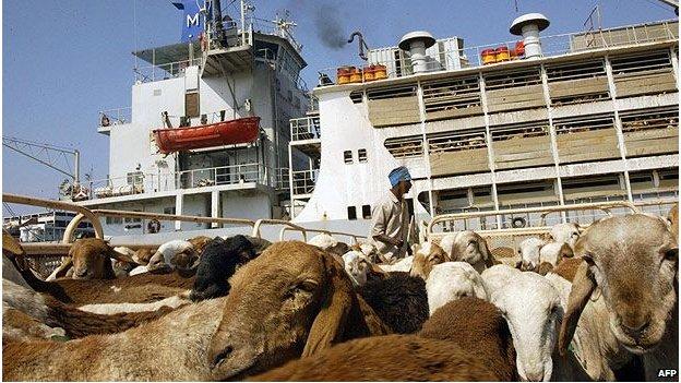 Sudanese sheep in Saudi port of Jeddah