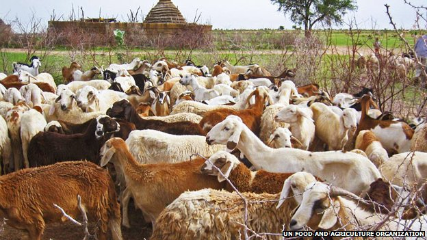 Sheep in the Sudanese uplands