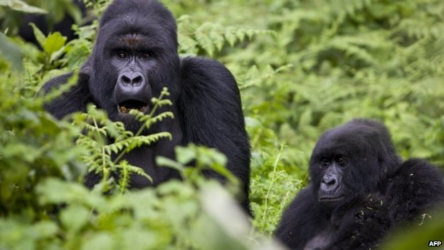 Mountain gorillas in Virunga national park