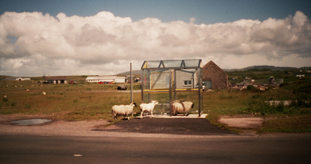 Sheep at Islay Airport bus stop
