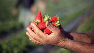 A Palestinian farmer holds a handful of harvested strawberries picked from fields in Beit Lahia, in the northern Gaza Strip