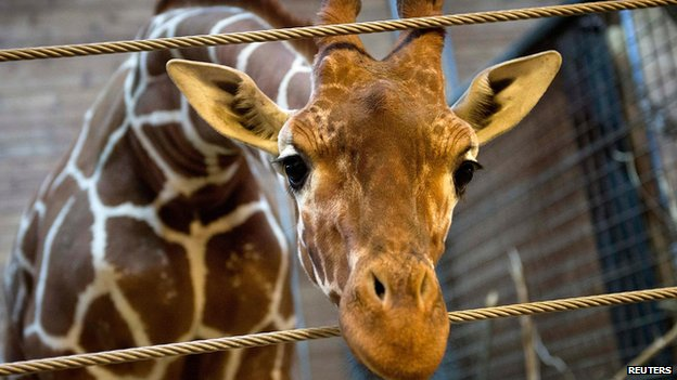 Marius the giraffe pictured at Copenhagen Zoo on 7 February 2014