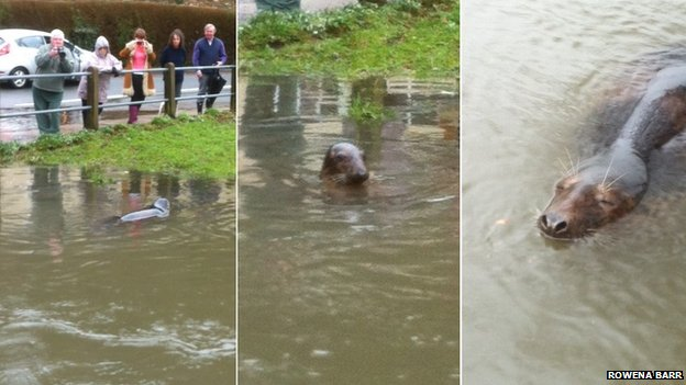 Seal in river in Lydbrook, Gloucestershire