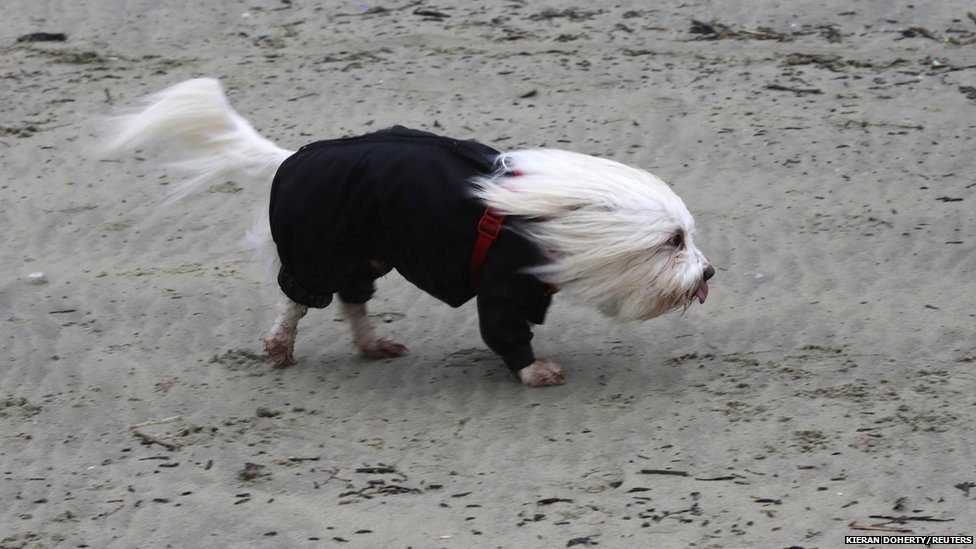 A Coton de Tulear dog is blown by strong winds on the beach in Lyme Regis, southern England