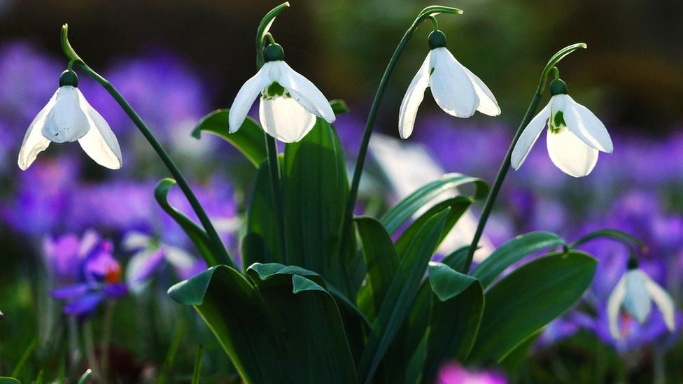 Snowdrops with purple flowers behind them