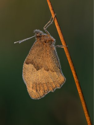 Meadow brown with dew
