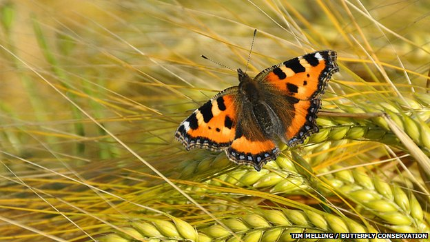 Small tortoiseshell on barley