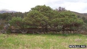 Scots Pine at Braem