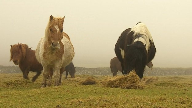 Ponies on Dartmoor