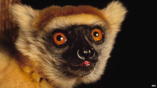 Crowned lemur, Eulemur, Madagascar