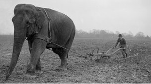Elephant helping to plow a field
