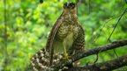 Juvenile barred forest falcon