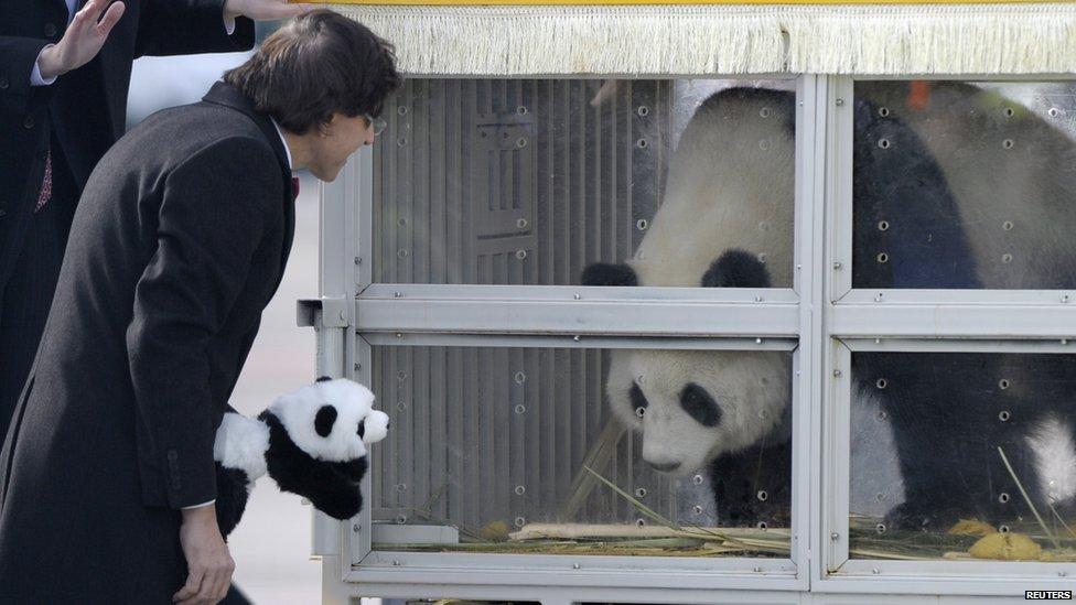 giant pandas arrive in belgium from china   cbbc newsround
