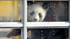 Panda in a clear box