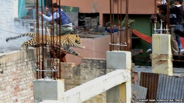 The leopard in Meerut