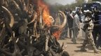 A pile of burning tusks in Chad - February 2014