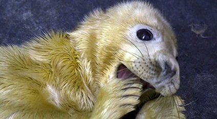 Seal pup at RSPCA East Winch
