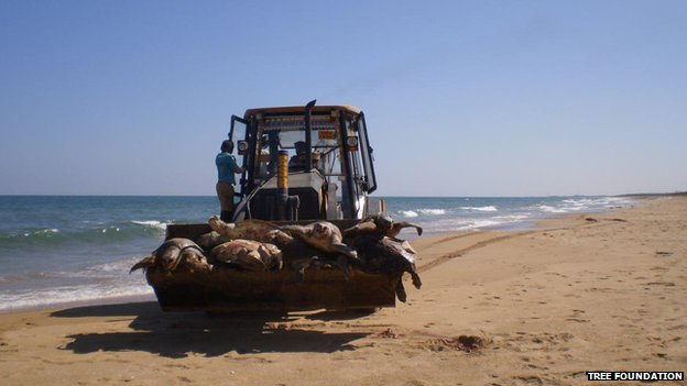 Olive Ridleys being taken away for mass burial on the Andhra Pradesh coast