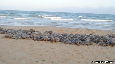 Olive Ridleys washed up on the Andhra Pradesh coast