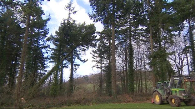 The Douglas fir tree is felled at Tyntesfield, North Somerset