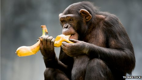 chimp eating banana