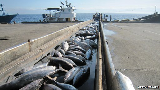 Tuna on conveyor belt