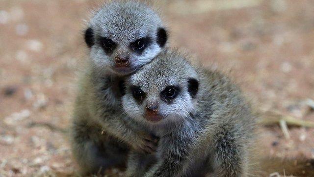 Meerkats at Bristol Zoo