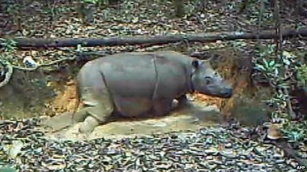 Hidden camera catches the critically endangered Sumatran rhino