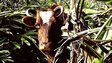 Last cow on Ascension Island