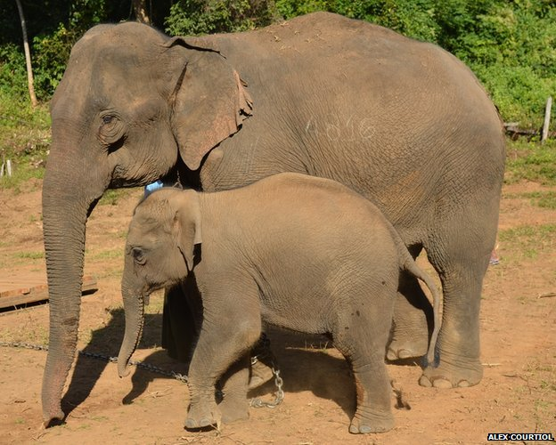 Elephant mother with calf