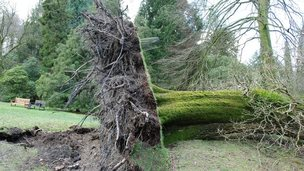 A 200-year-old oak tree damaged in the St Valentine's Day storm in Stourhead, Wiltshire