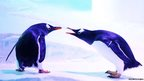 Gentoo penguins at a new exhibit at The Deep in Hull Marina