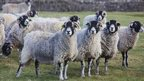 Generic Swaledale Sheep