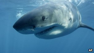 Great white shark (library image)
