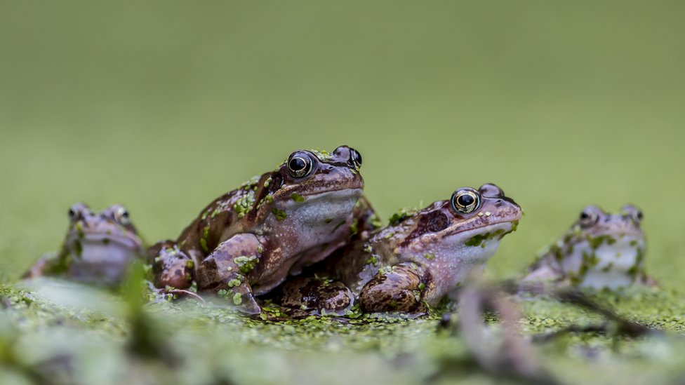 Frogs (c) Jerry Lake