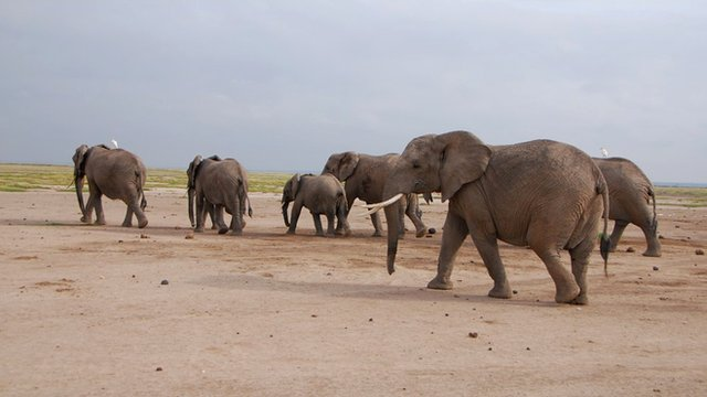 Elephants recognise human voices