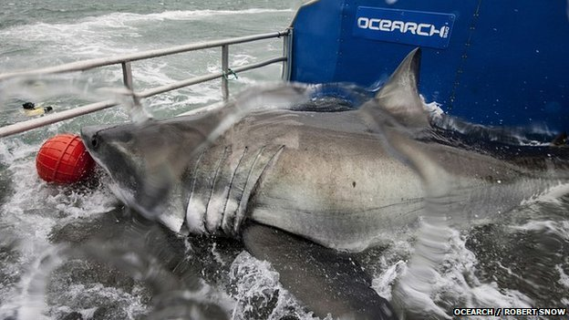 White shark goes 'transatlantic'