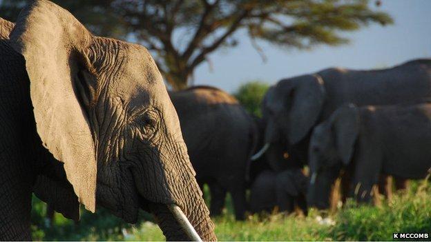 African elephant (Image: Karen McComb)