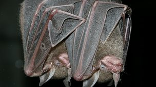 Sowell's short-tailed bats (Image courtesy of Karin Schneeberger)