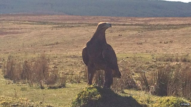 Golden eagles spotted at Llanllwni in Carmarthenshire