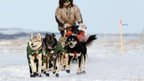 Iditarod musher Jeff King, from Denali, Alaksa, mushes between the checkpoints of White Mountain and Safety, the last checkpoint before the finish line in Nome. 10 March 2014