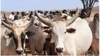Cows in Kenya to get better genes from abroad
